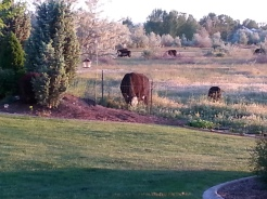 Cattle grazing down the street and just outside the community