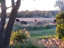 More cattle grazing